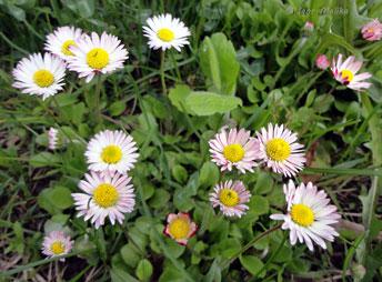 Стокротки багаторічні (Маргаритка многолетняя) - Bellis perennis, лікарська рослина