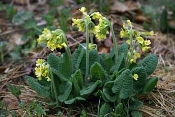 Первоцвіт весняний (Primula veris L.)