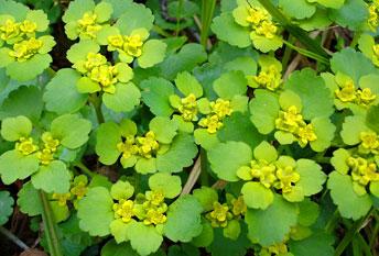 Жовтяниця черговолиста (Селезёночник очерёднолистный) - Chrysosplenіum alternifolium
