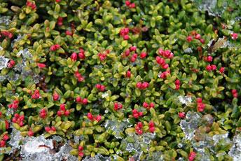 Наскельниця лежача (Loiseleuria procumbens)