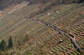Виноградні плантації на пагорбах м. Клінгенберг
