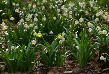 Білоцвітник весняний leucojum vernum