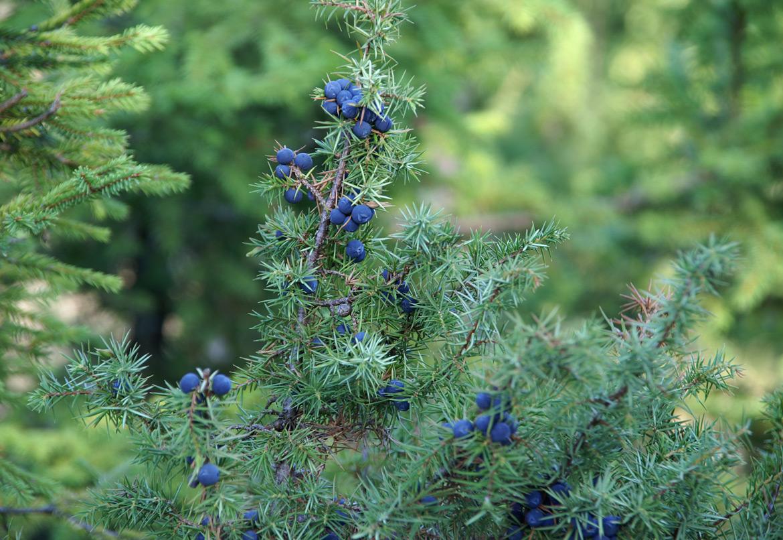 ЇСТІВНІ ПЛОДИ І ЯГОДИ УКРАЇНСЬКИХ КАРПАТ Igor Melika istivni plody i yahody ukrainskih karpat Juniperus communis