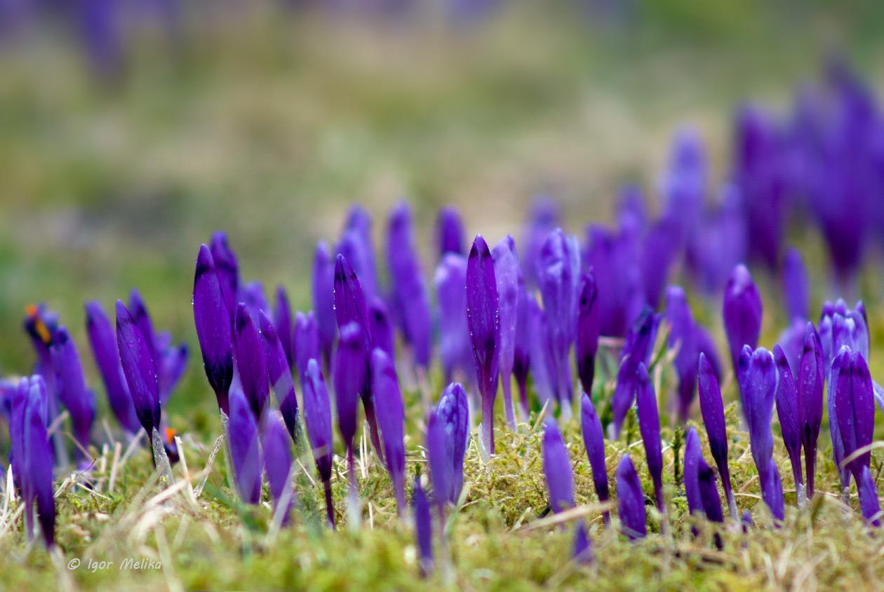 Весна в карпатах долина крокусів у